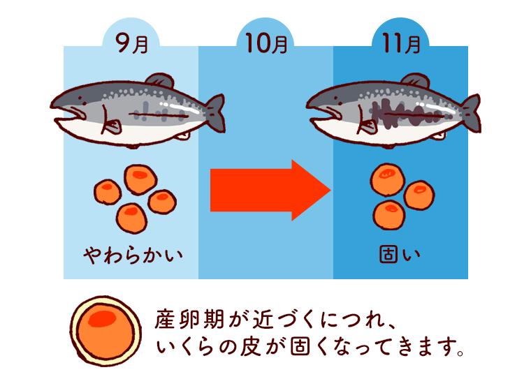 いくらの皮の固さと漁獲時期の関係