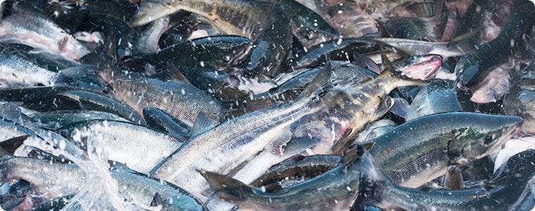 北海道の天然秋鮭漁 水揚げ風景