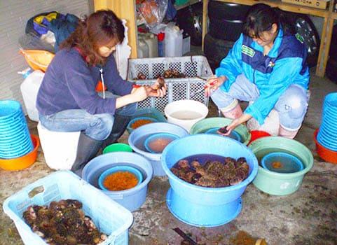 生産者による殻剥き作業
