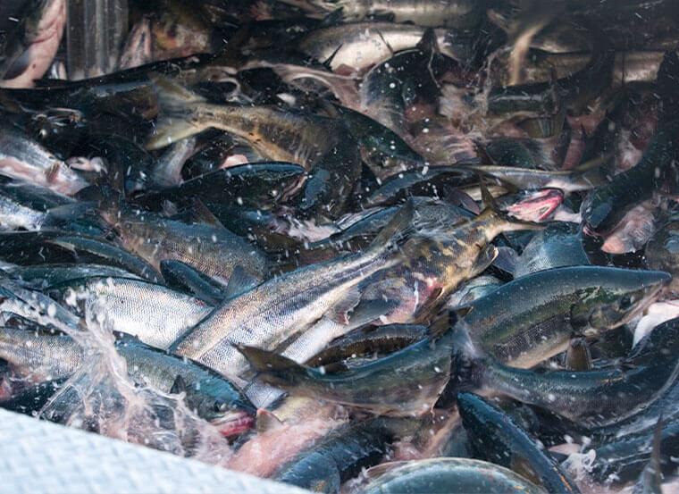 秋鮭漁イメージ