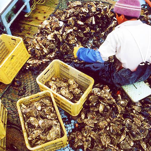 船上での牡蠣選別風景