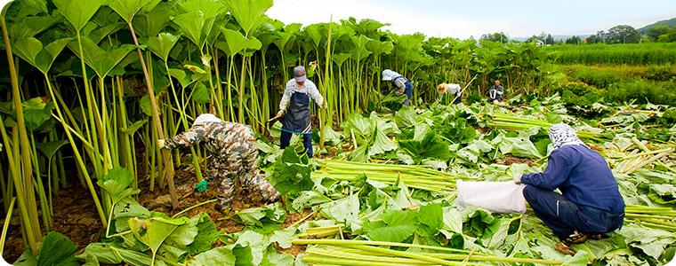 ラワンぶき収穫風景2