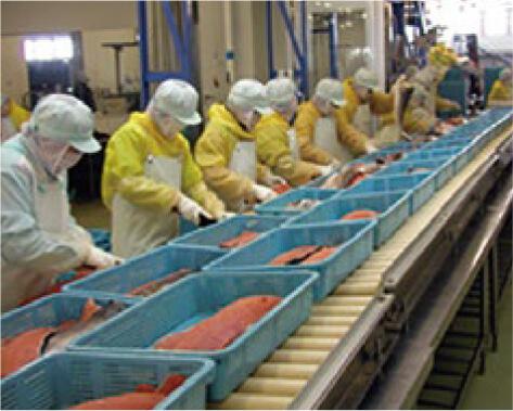 秋鮭フィーレの製造工場 検品ラインで品質を確認