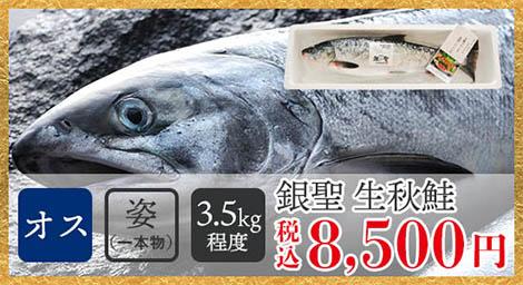 銀聖生秋鮭(オス・姿/3.5kg程度)税込8,500円